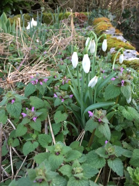 The only snowdrops in the garden