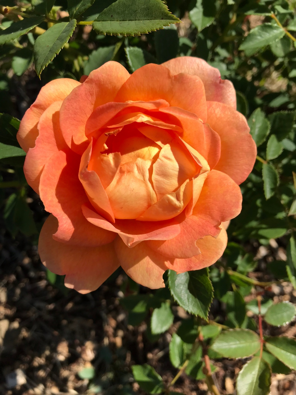 The rose garden: planted in January, flowering by May